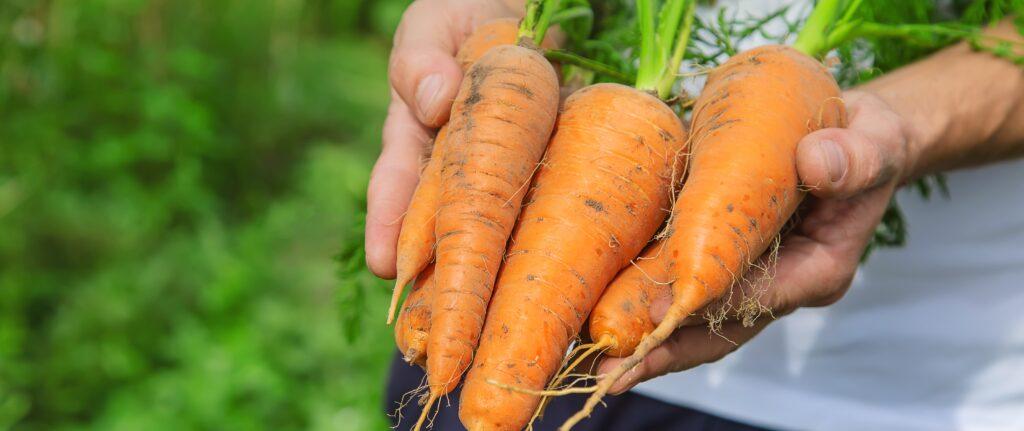man with bunch carrots garden selective focus